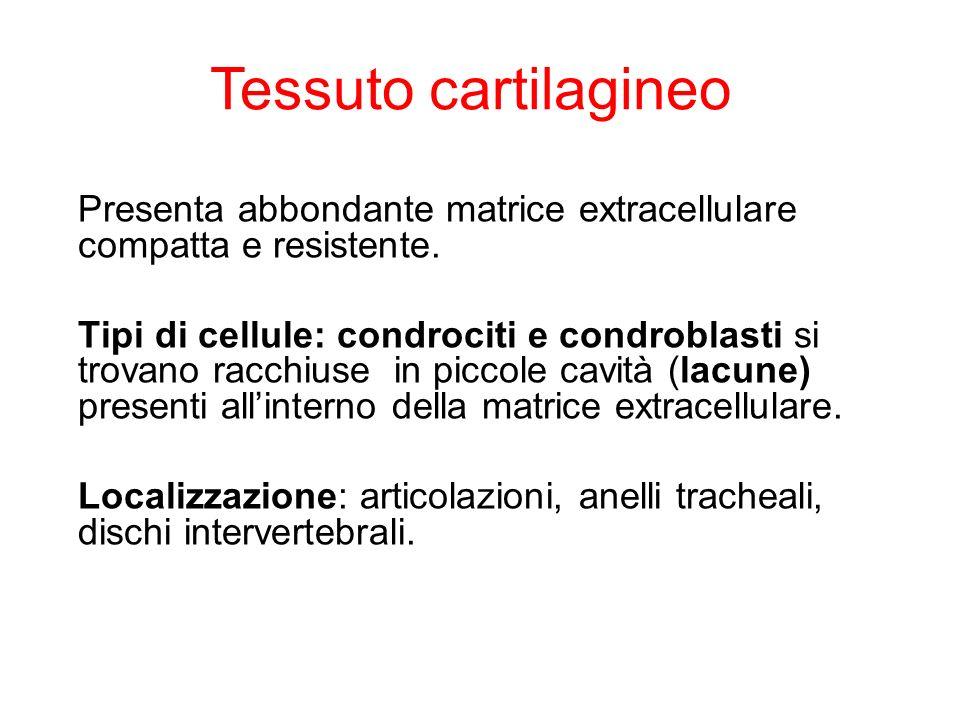 Tessuto cartilagineo Presenta abbondante matrice extracellulare compatta e resistente.