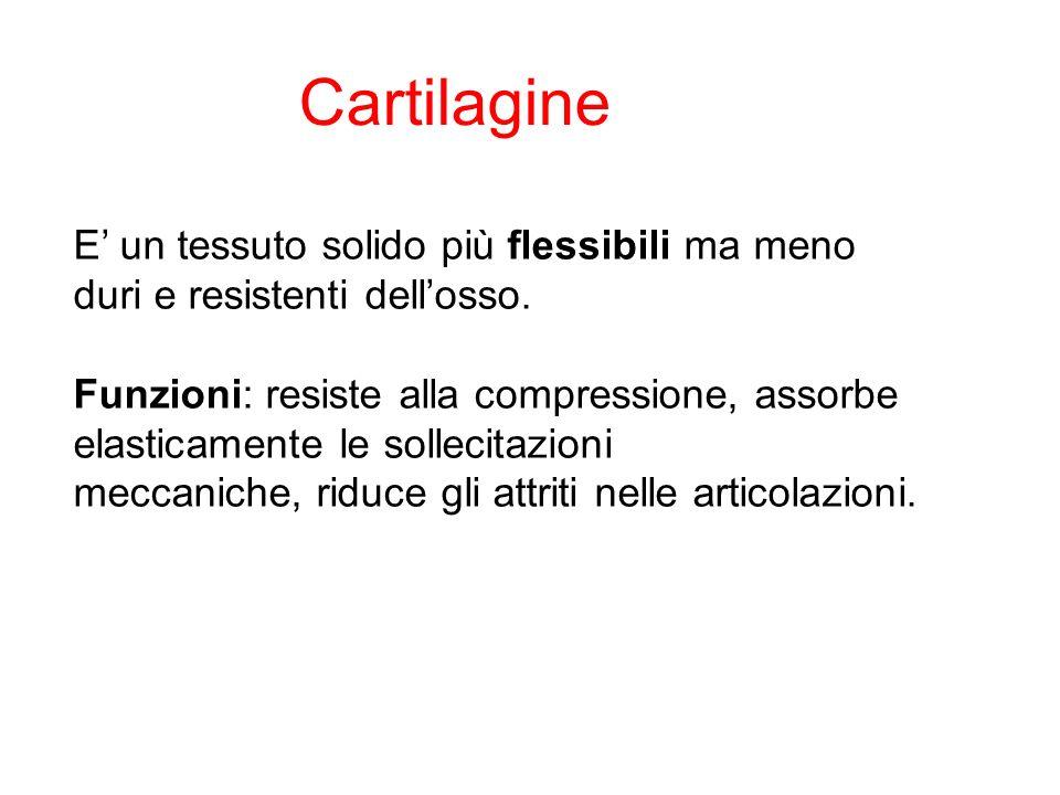 CartilagineE' un tessuto solido più flessibili ma meno duri e resistenti dell'osso.
