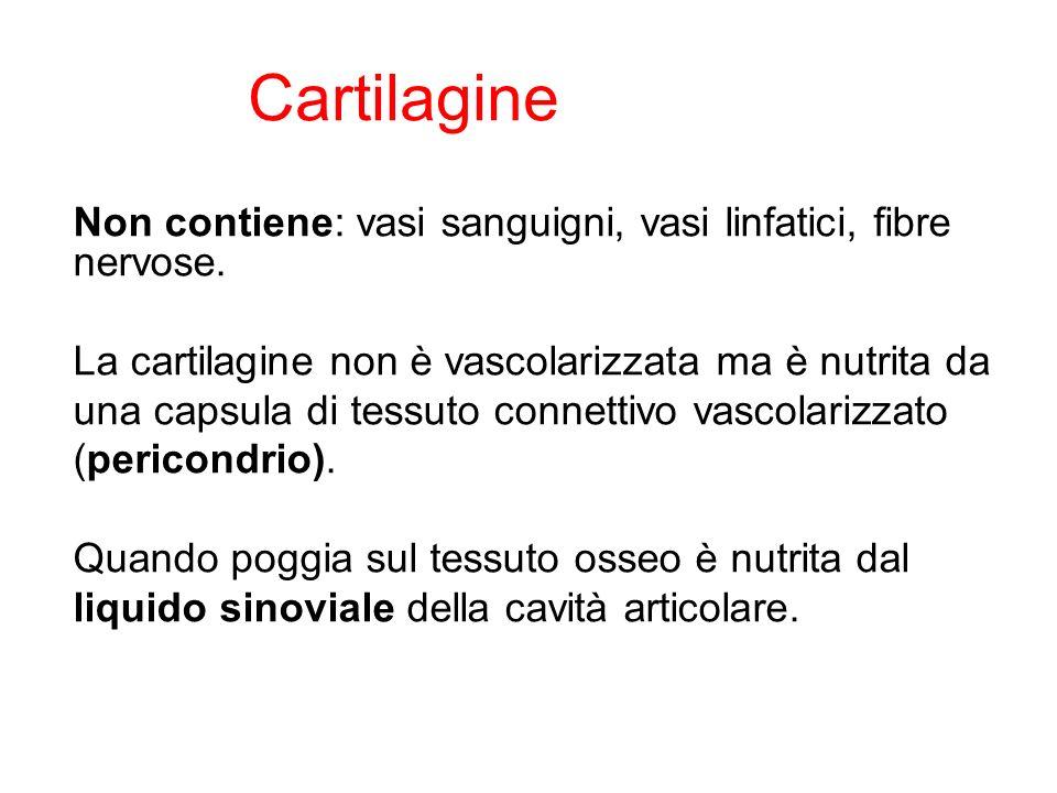 Cartilagine Non contiene: vasi sanguigni, vasi linfatici, fibre nervose.