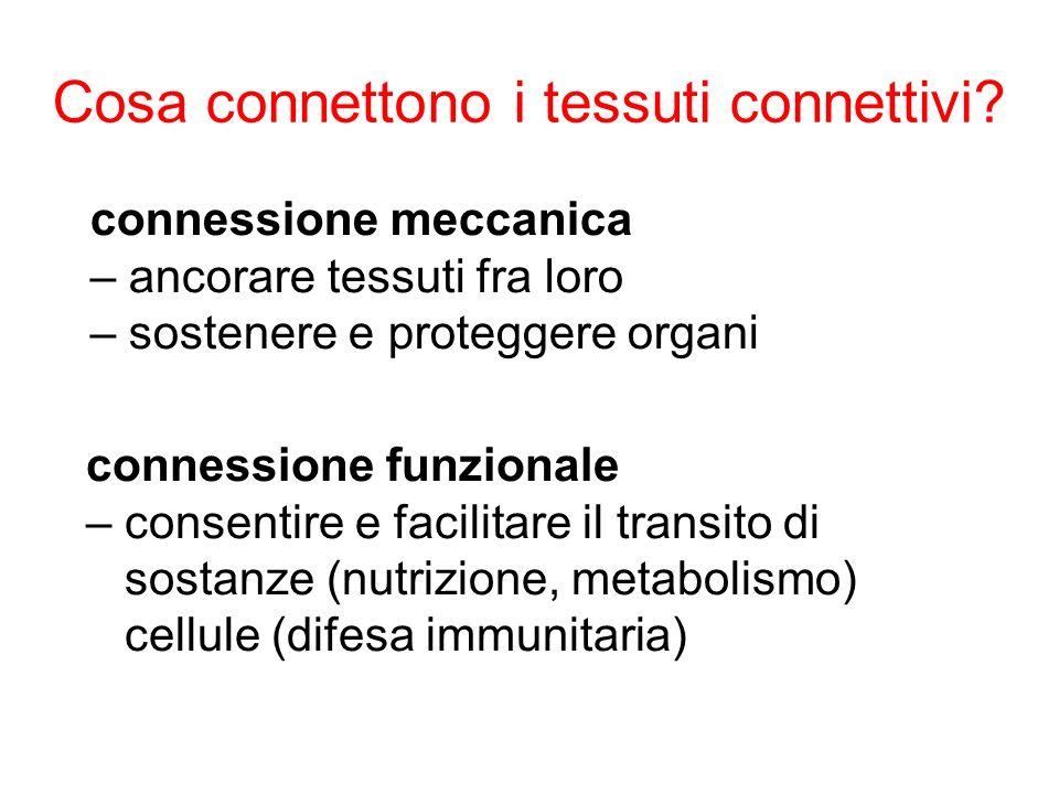 Cosa connettono i tessuti connettivi