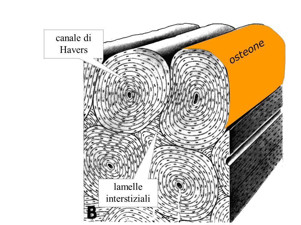 lamelle interstiziali