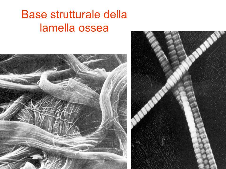 Base strutturale della lamella ossea