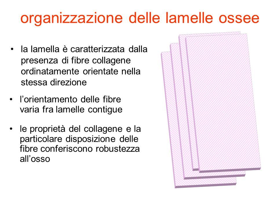 organizzazione delle lamelle ossee