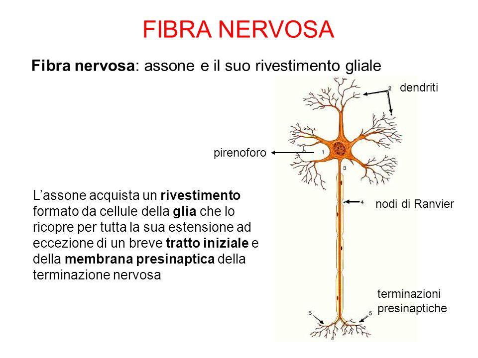FIBRA NERVOSA Fibra nervosa: assone e il suo rivestimento gliale