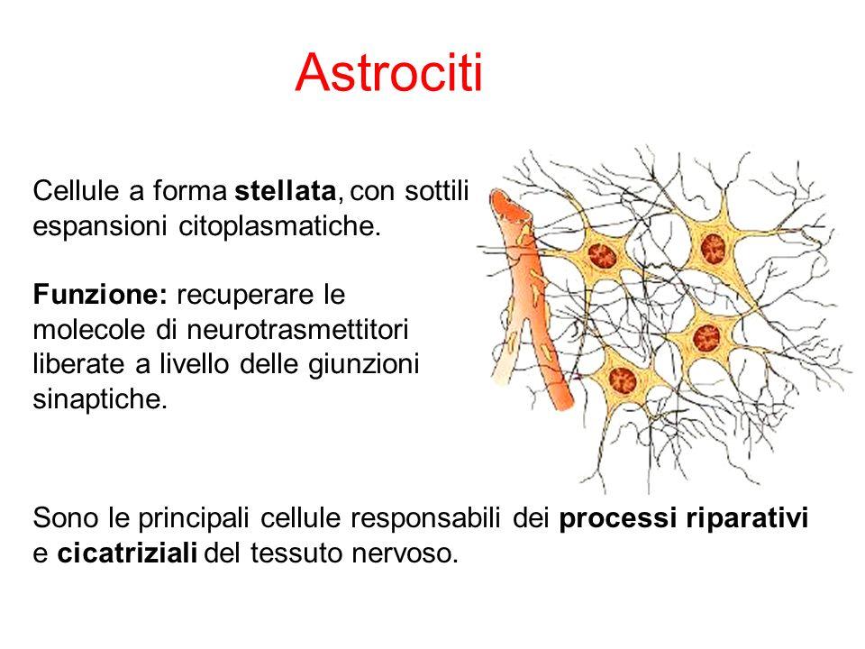 Astrociti Cellule a forma stellata, con sottili espansioni citoplasmatiche. Funzione: recuperare le.