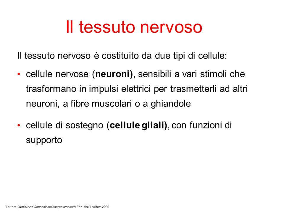 Il tessuto nervoso Il tessuto nervoso è costituito da due tipi di cellule: