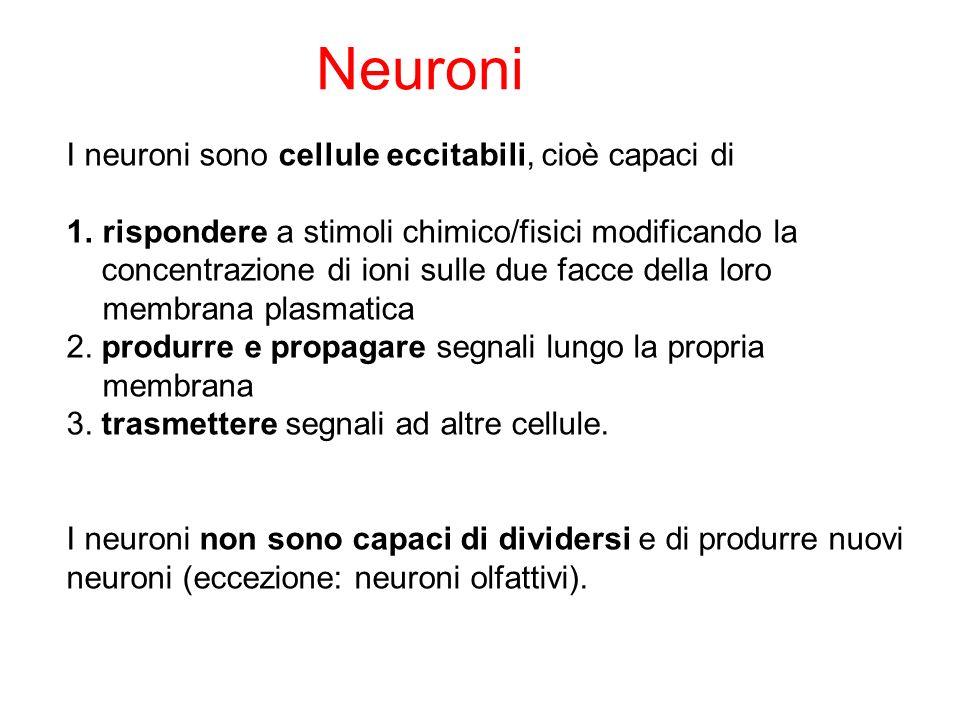 Neuroni I neuroni sono cellule eccitabili, cioè capaci di