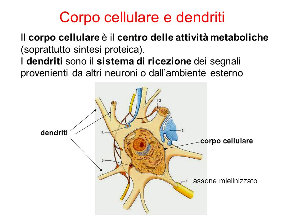 Corpo cellulare e dendriti