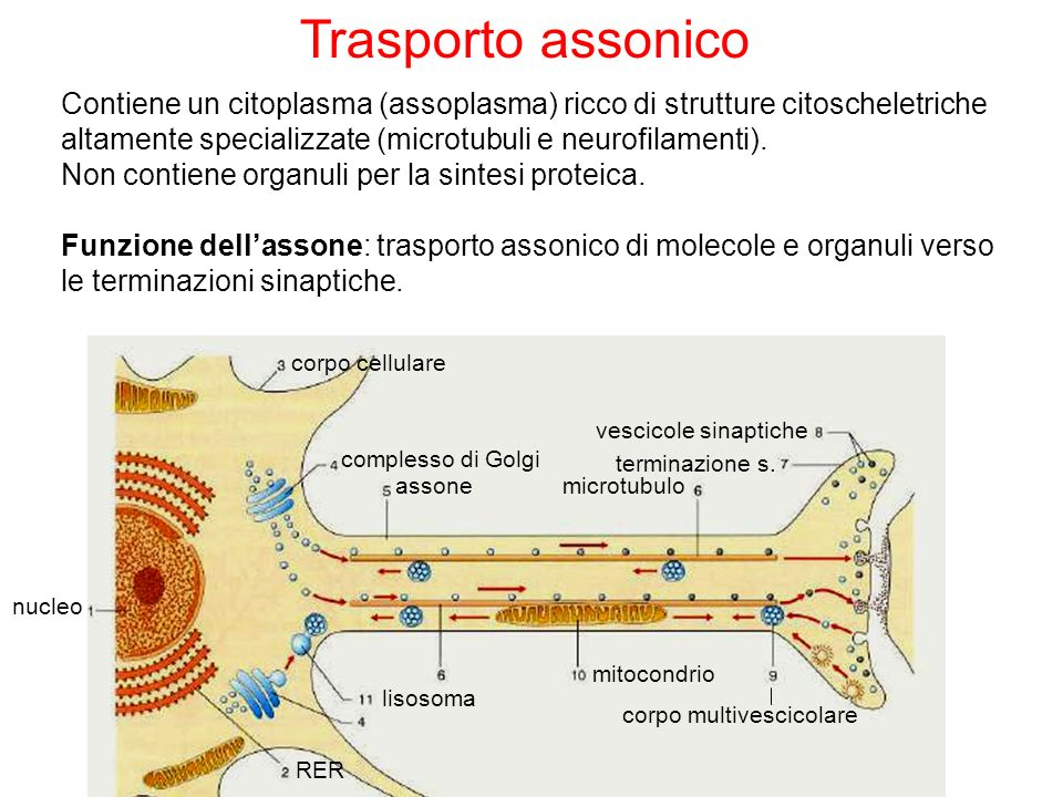 Trasporto assonico Contiene un citoplasma (assoplasma) ricco di strutture citoscheletriche altamente specializzate (microtubuli e neurofilamenti).