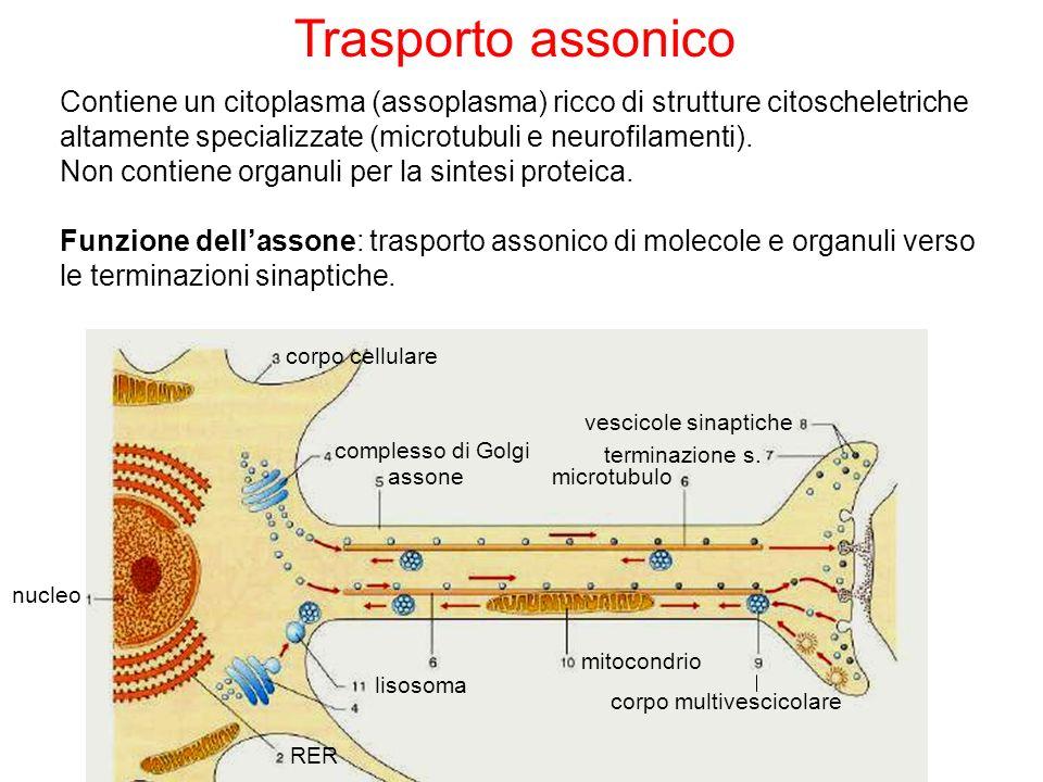 Trasporto assonicoContiene un citoplasma (assoplasma) ricco di strutture citoscheletriche altamente specializzate (microtubuli e neurofilamenti).