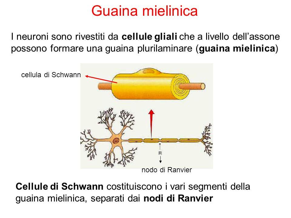 Guaina mielinica I neuroni sono rivestiti da cellule gliali che a livello dell'assone possono formare una guaina plurilaminare (guaina mielinica)
