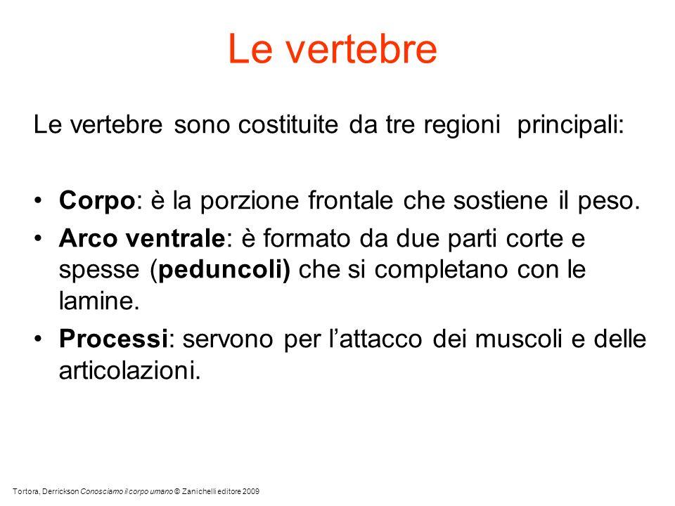 Le vertebre Le vertebre sono costituite da tre regioni principali: