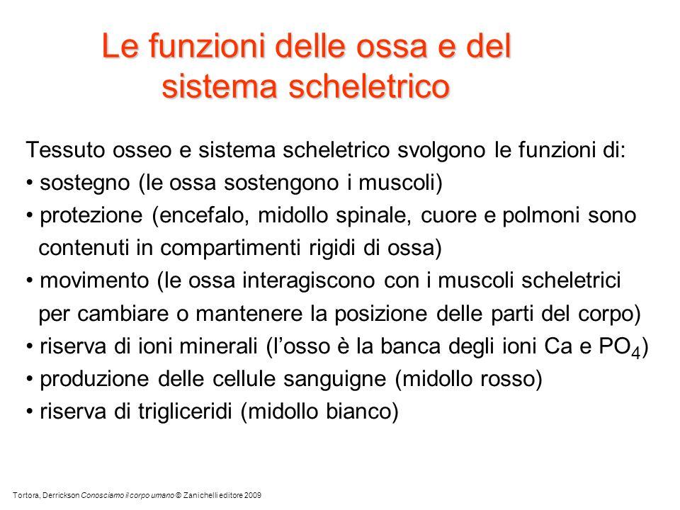 Le funzioni delle ossa e del sistema scheletrico