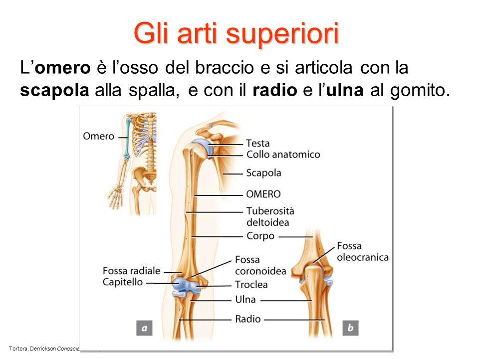 Gli arti superiori L'omero è l'osso del braccio e si articola con la scapola alla spalla, e con il radio e l'ulna al gomito.