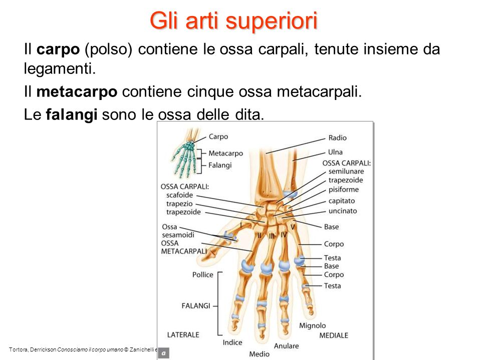 Gli arti superioriIl carpo (polso) contiene le ossa carpali, tenute insieme da legamenti. Il metacarpo contiene cinque ossa metacarpali.