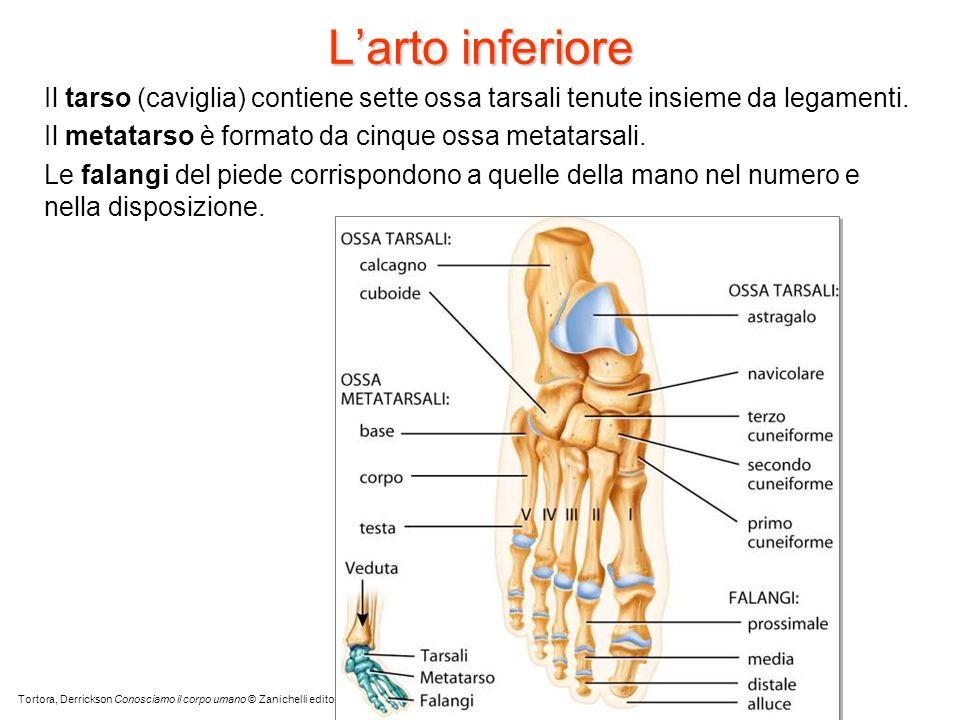 L'arto inferioreIl tarso (caviglia) contiene sette ossa tarsali tenute insieme da legamenti. Il metatarso è formato da cinque ossa metatarsali.