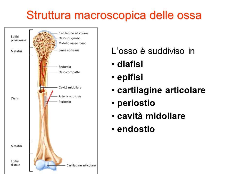 Struttura macroscopica delle ossa