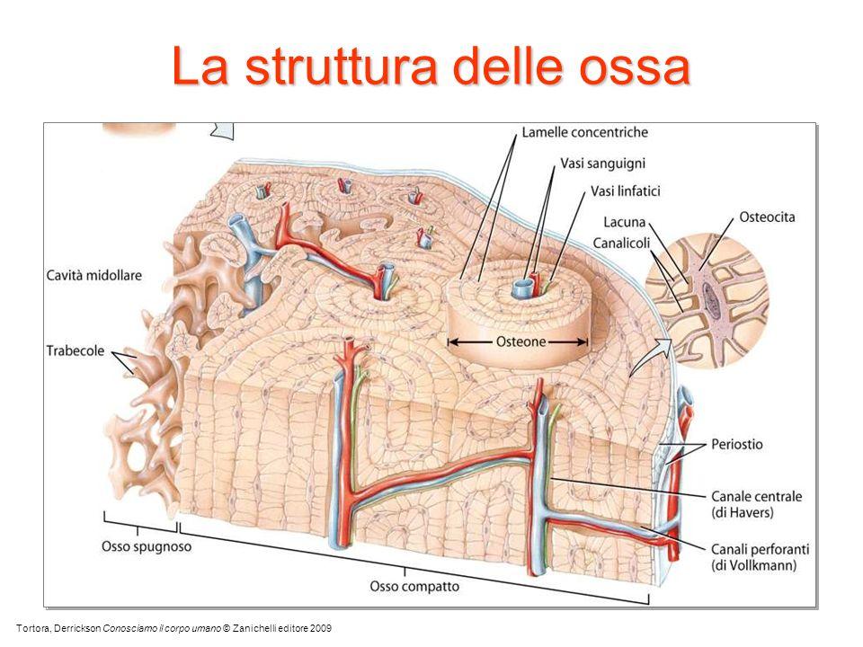 La struttura delle ossa