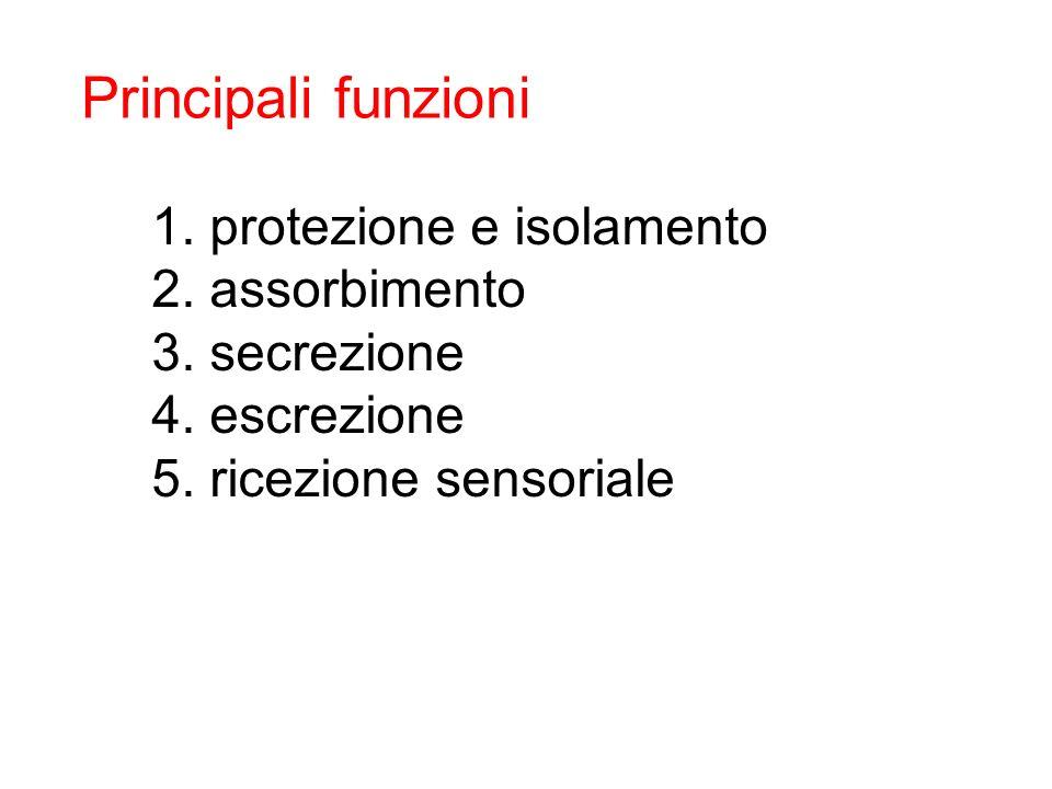 Principali funzioni protezione e isolamento assorbimento secrezione