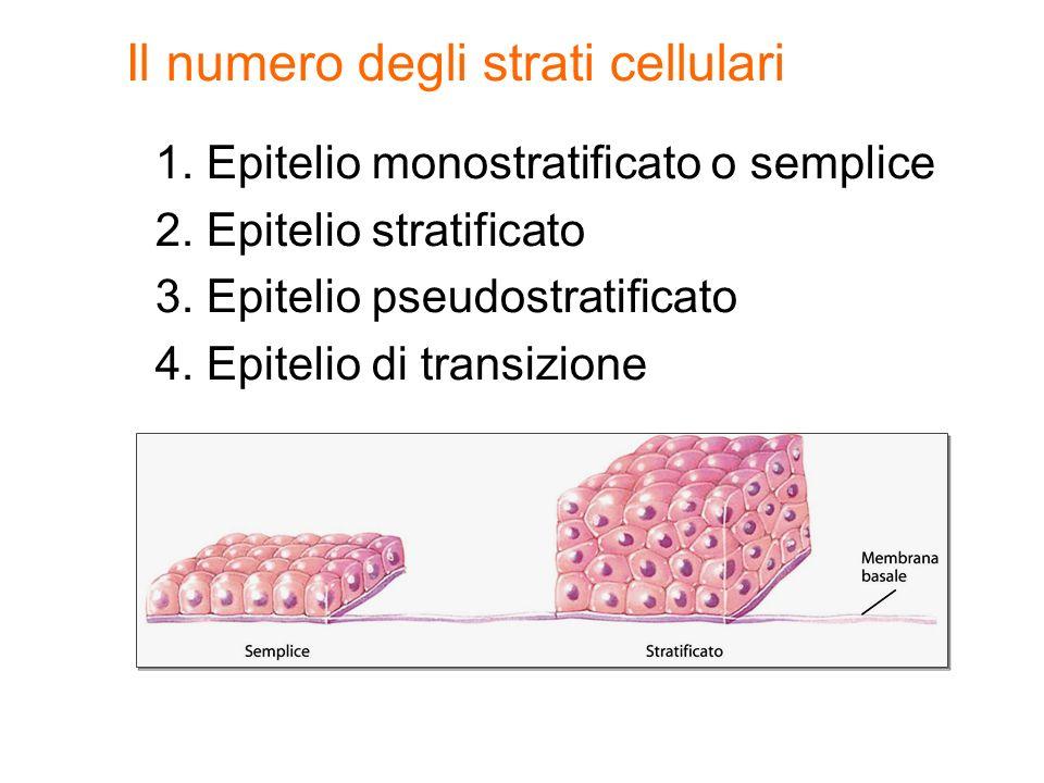 Il numero degli strati cellulari