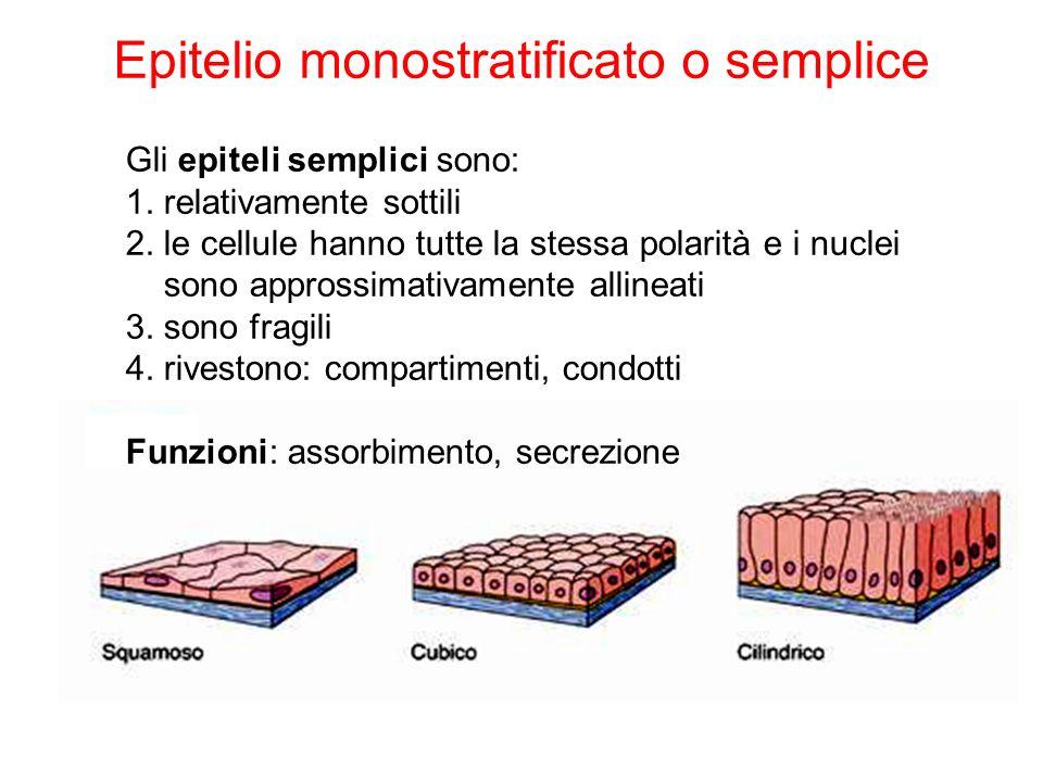 Epitelio monostratificato o semplice