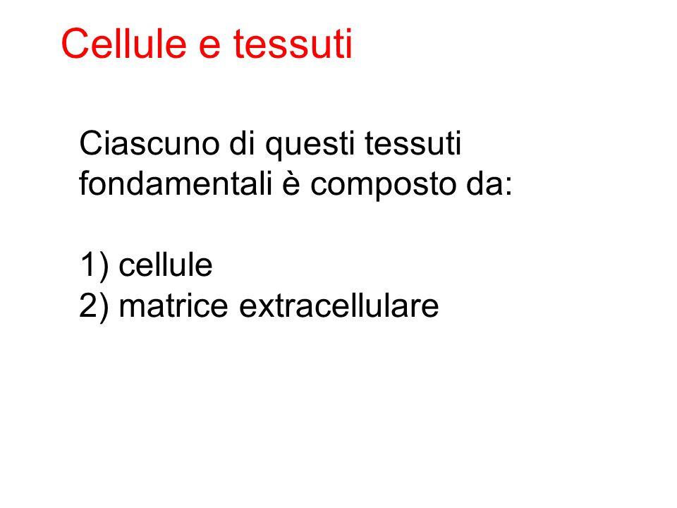 Cellule e tessuti Ciascuno di questi tessuti fondamentali è composto da: 1) cellule.