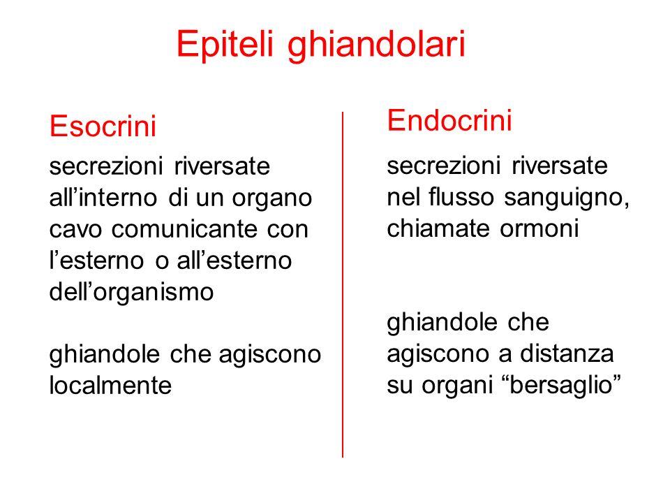 Epiteli ghiandolari Endocrini Esocrini secrezioni riversate