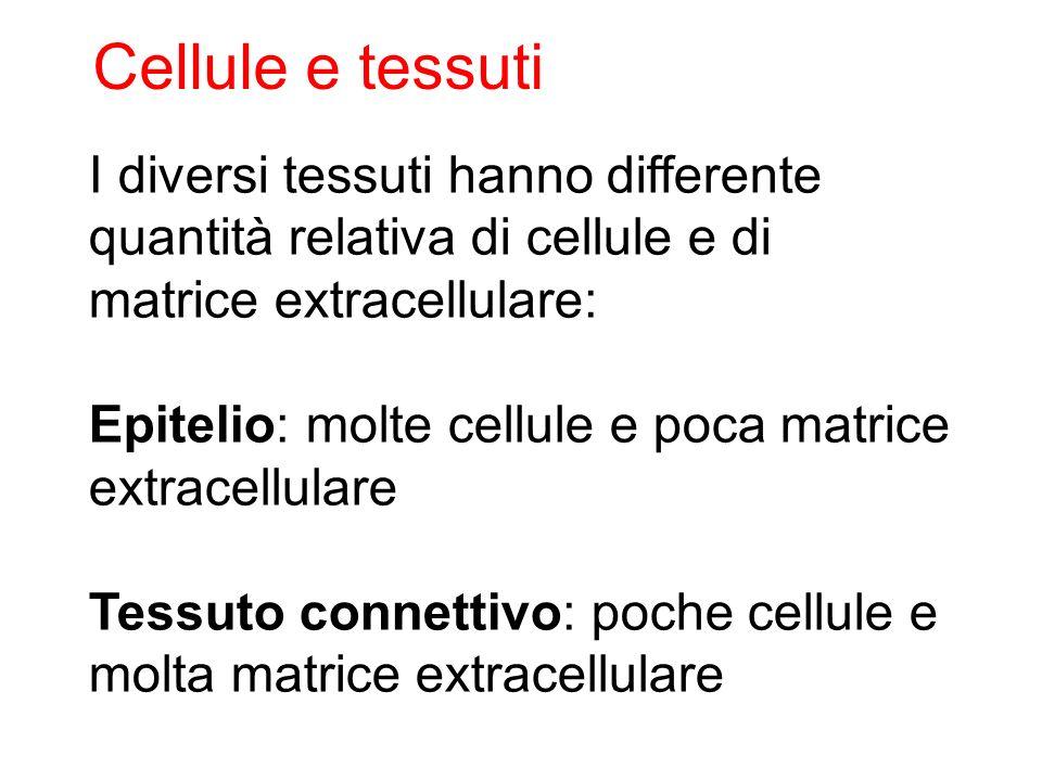 Cellule e tessuti I diversi tessuti hanno differente quantità relativa di cellule e di. matrice extracellulare: