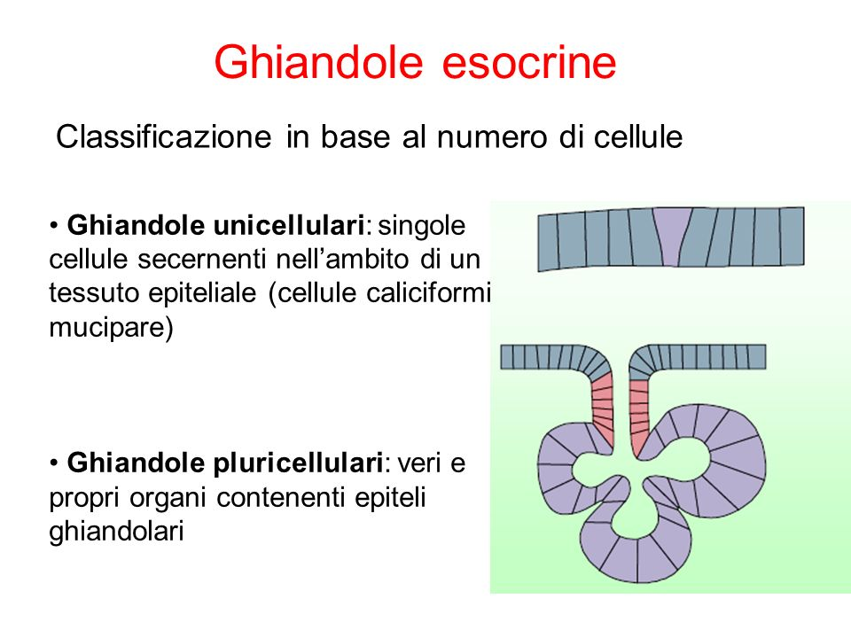 Ghiandole esocrine Classificazione in base al numero di cellule