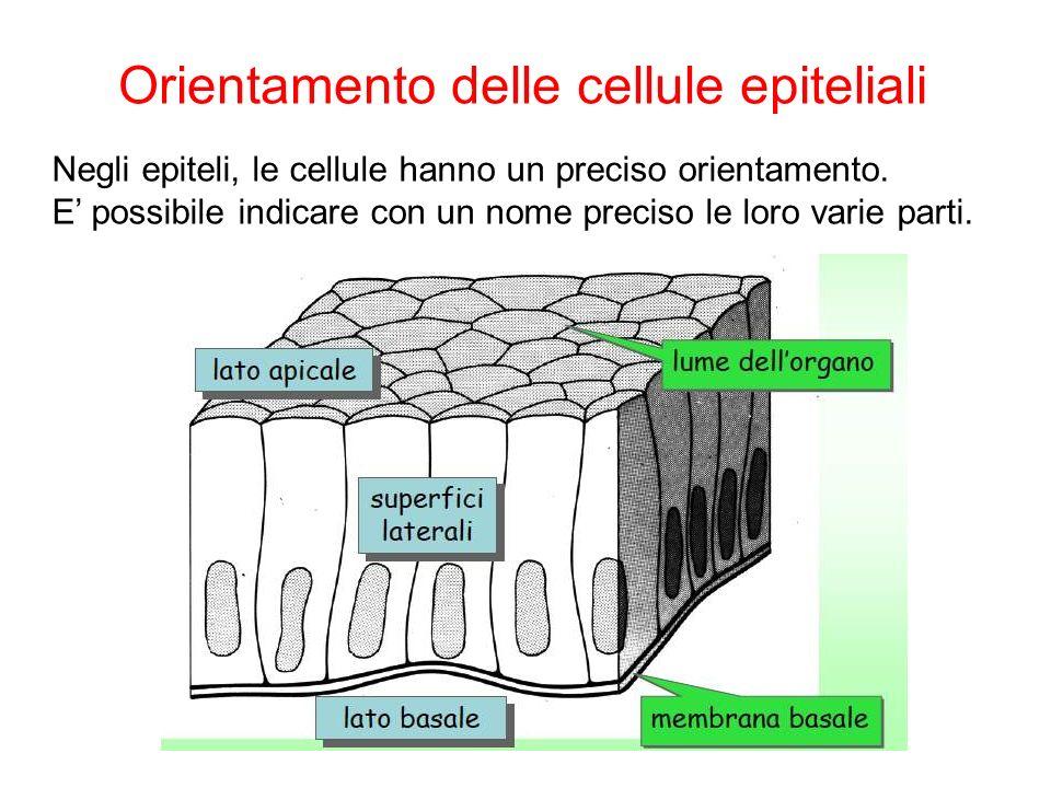 Orientamento delle cellule epiteliali