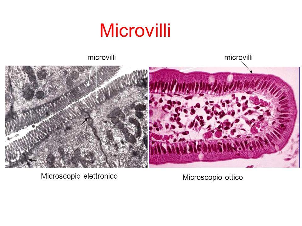 Microvilli microvilli microvilli Microscopio elettronico