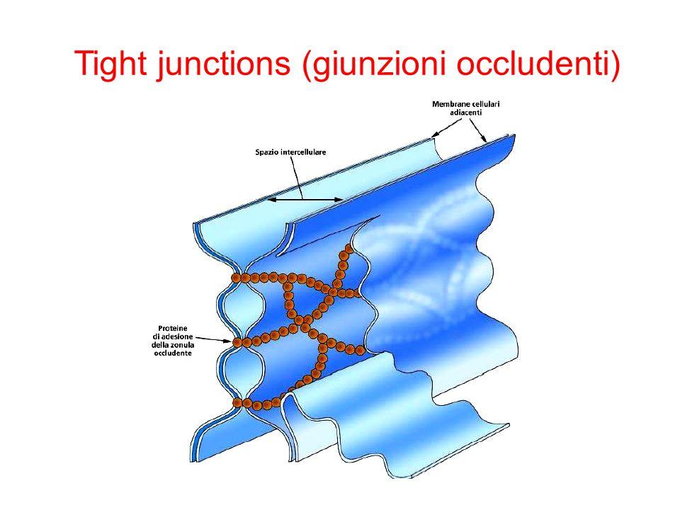 Tight junctions (giunzioni occludenti)