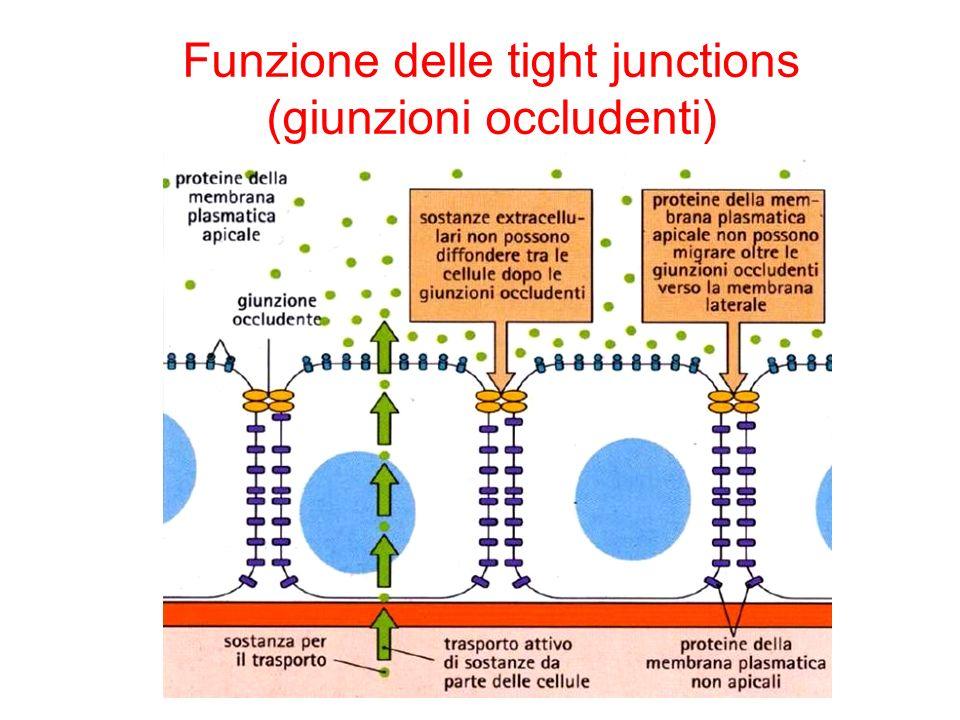 Funzione delle tight junctions (giunzioni occludenti)