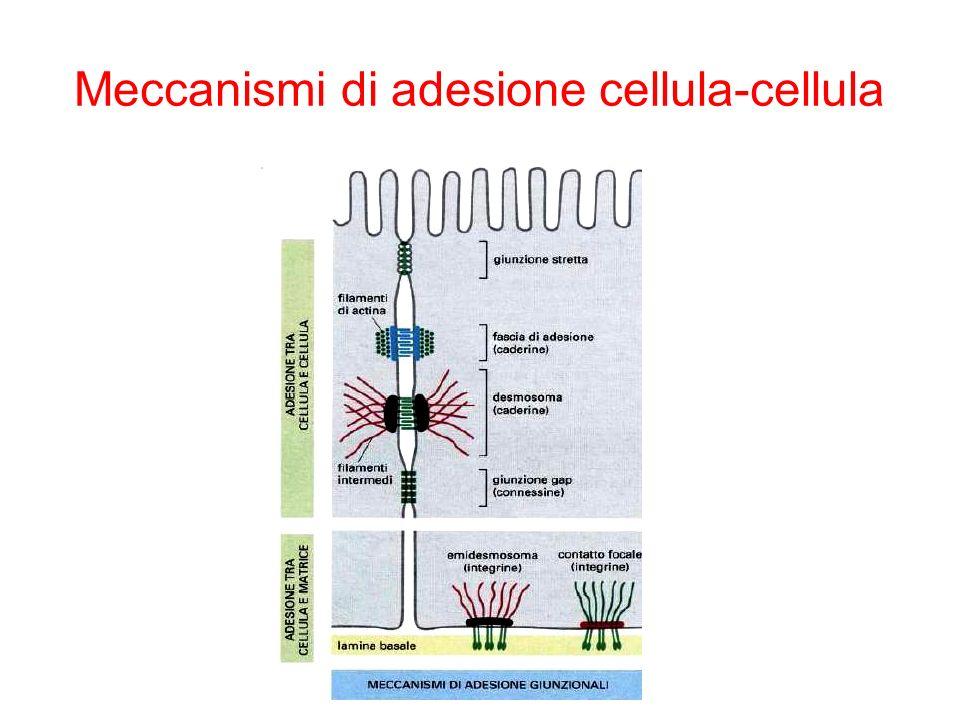 Meccanismi di adesione cellula-cellula