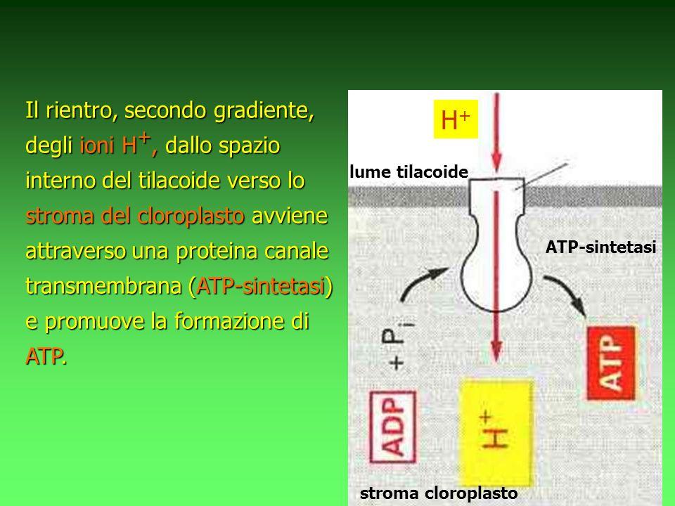 Il rientro, secondo gradiente, degli ioni H+, dallo spazio interno del tilacoide verso lo stroma del cloroplasto avviene attraverso una proteina canale transmembrana (ATP-sintetasi) e promuove la formazione di ATP.