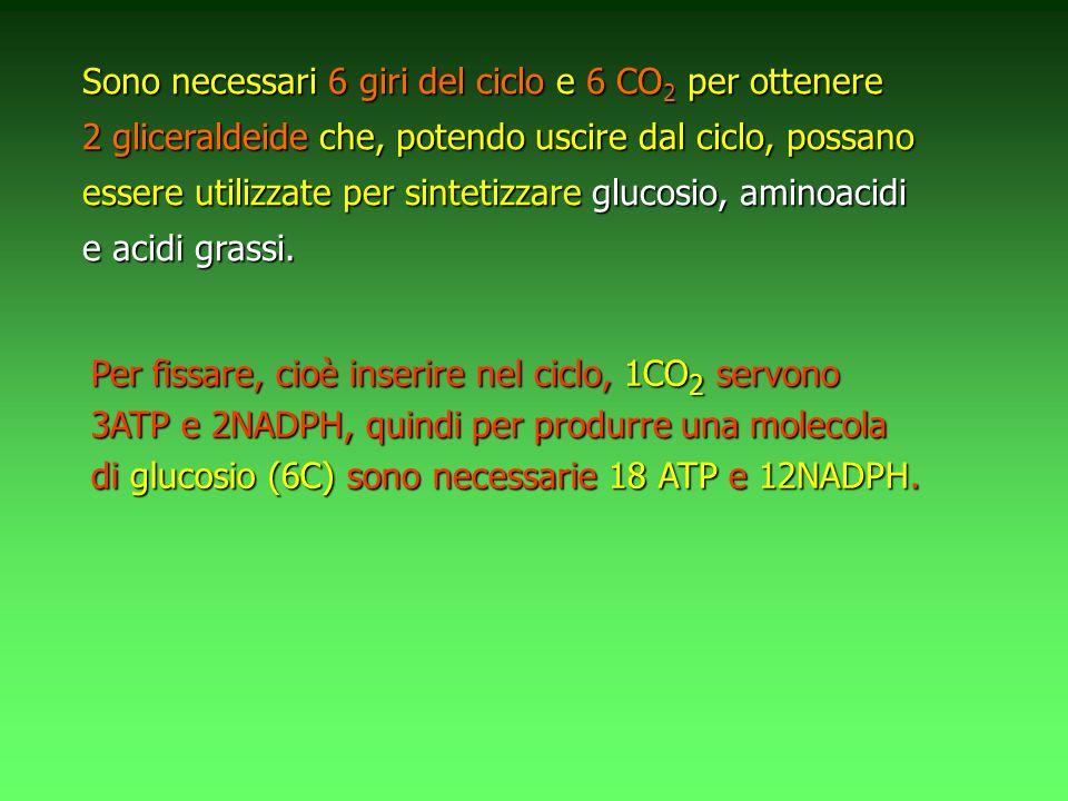 Sono necessari 6 giri del ciclo e 6 CO2 per ottenere