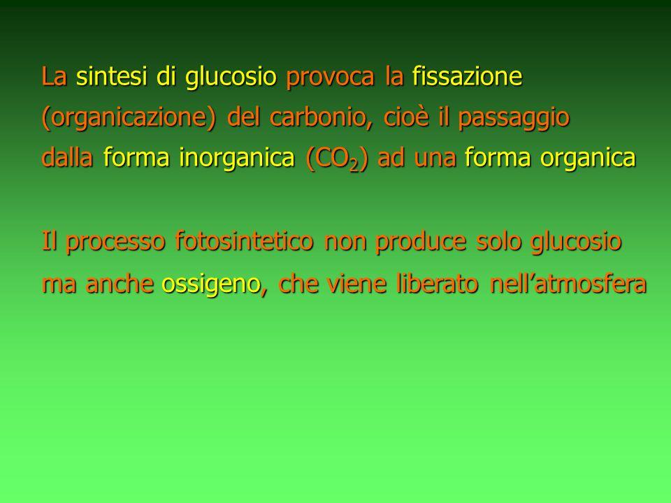 La sintesi di glucosio provoca la fissazione