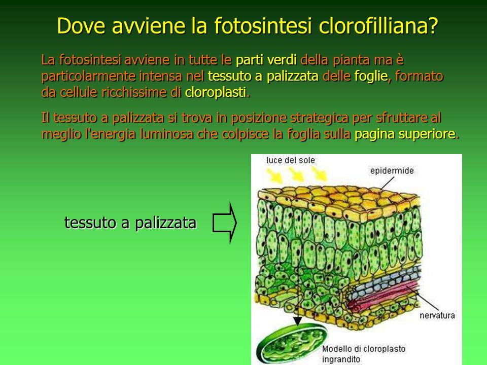 Dove avviene la fotosintesi clorofilliana