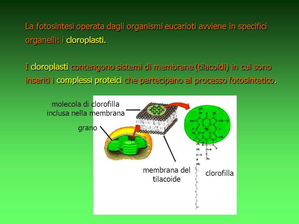 La fotosintesi operata dagli organismi eucarioti avviene in specifici organelli: i cloroplasti.