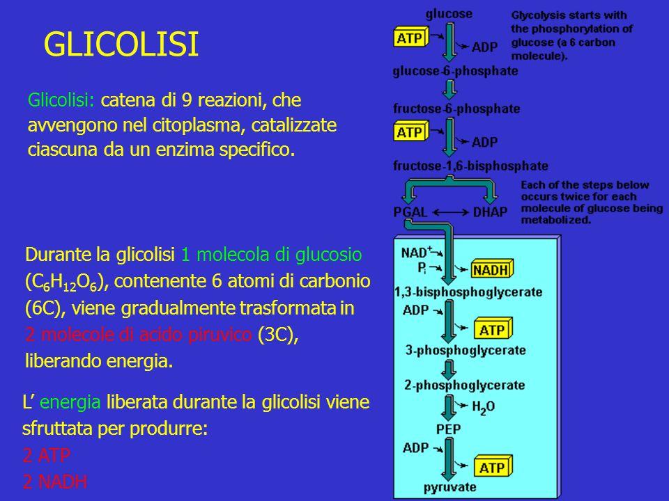 GLICOLISI Glicolisi: catena di 9 reazioni, che avvengono nel citoplasma, catalizzate ciascuna da un enzima specifico.