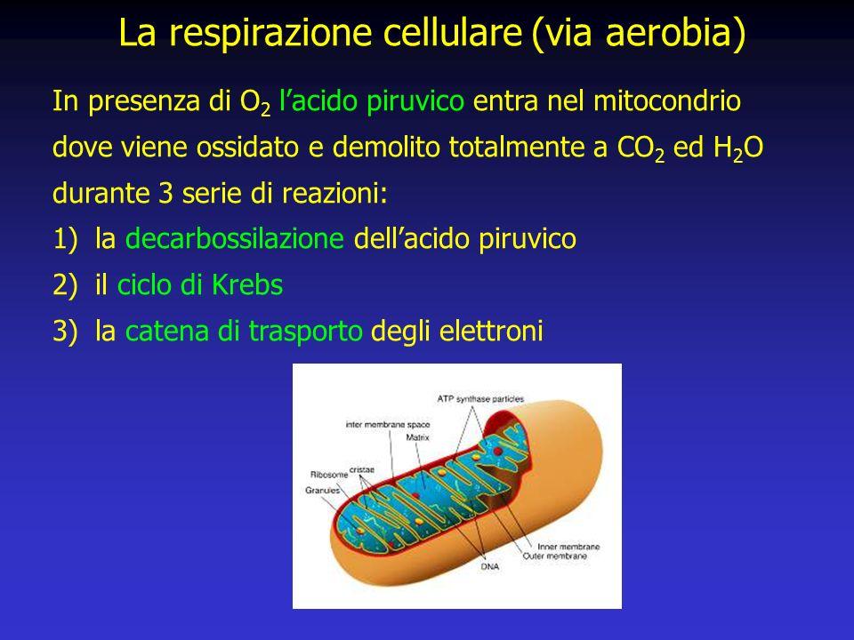 La respirazione cellulare (via aerobia)