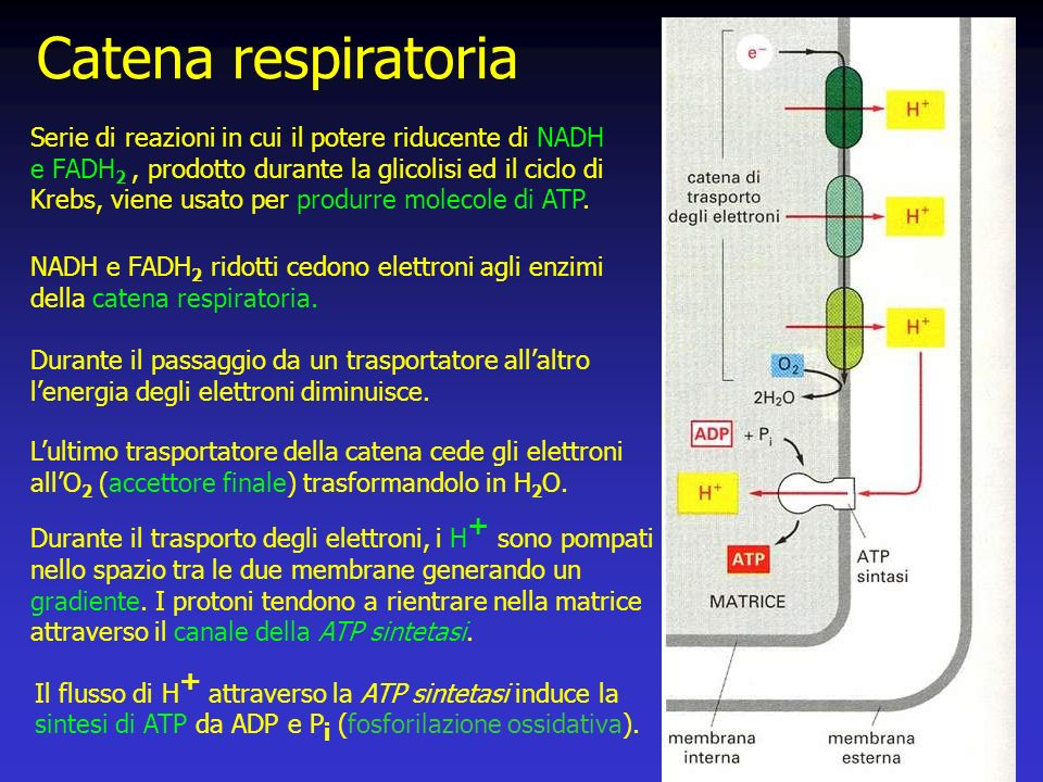 Catena respiratoria