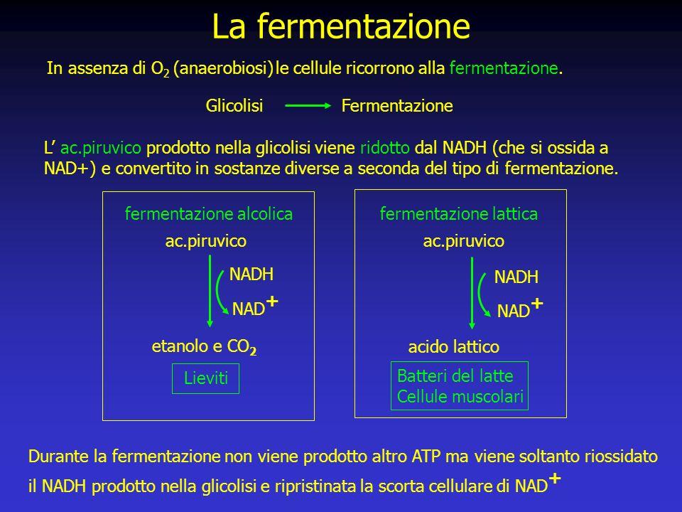 La fermentazione In assenza di O2 (anaerobiosi) le cellule ricorrono alla fermentazione. Glicolisi Fermentazione.