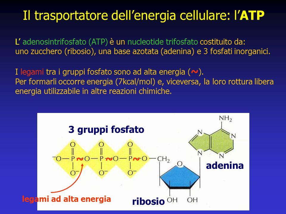 Il trasportatore dell'energia cellulare: l'ATP