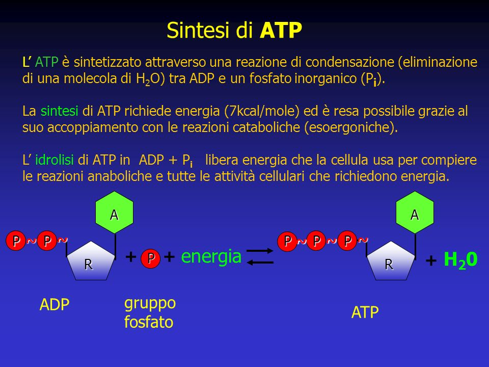 Sintesi di ATP energia H20 + + + ADP gruppo fosfato ATP