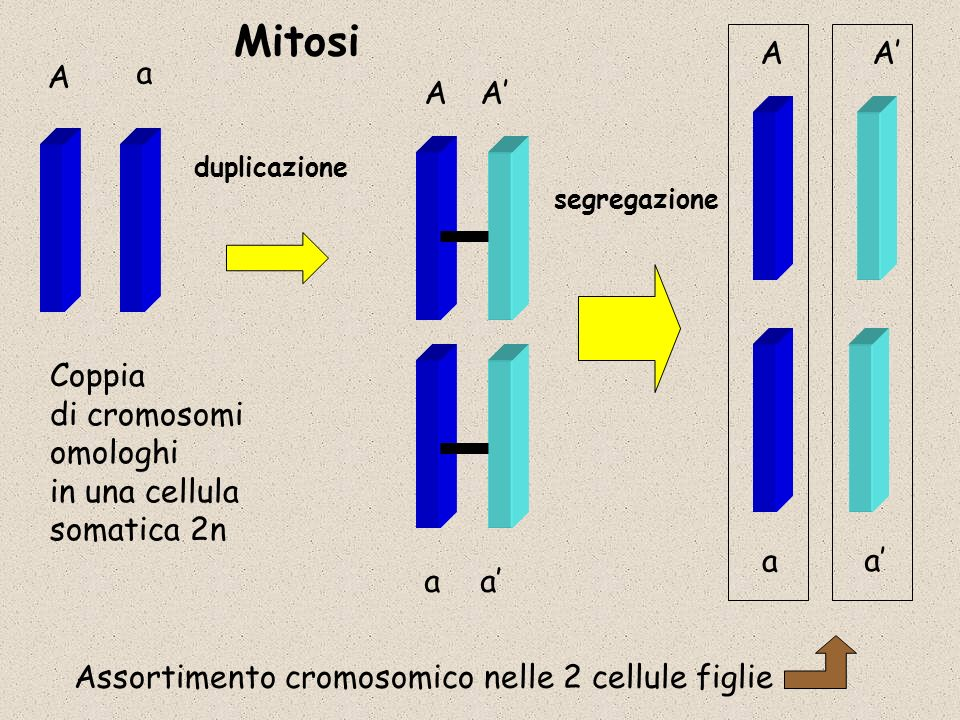 Mitosi A A' A a A A' Coppia di cromosomi omologhi in una cellula