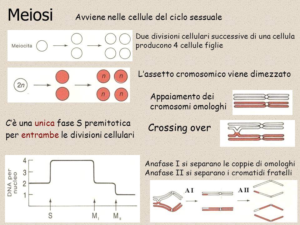 Meiosi Crossing over Avviene nelle cellule del ciclo sessuale