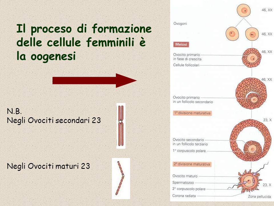 Il proceso di formazione delle cellule femminili è la oogenesi