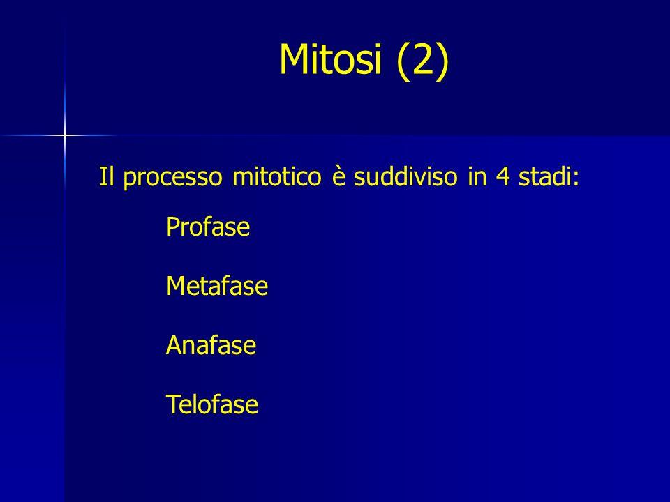 Mitosi (2) Il processo mitotico è suddiviso in 4 stadi: Profase