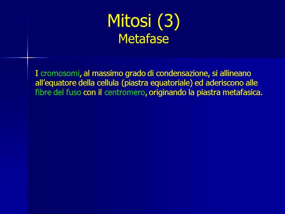 Mitosi (3) Metafase.